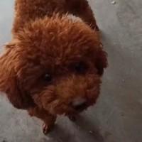 我家泰迪狗丢了,有见到的联系我 志勇 必有重谢